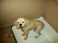 Image: Mandy — Mandy is a 8 year old Cocker Spaniel looking for a home.