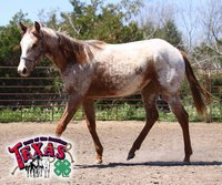 Image: The yearling POA filly has been donated by Texas POA Hall of Fame Member, Norm Stevenson.
